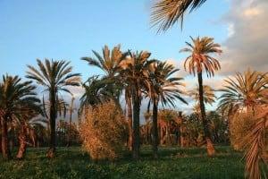 Palmeras-al-atardecer-elche